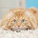 funny fluffy ginger cat lying
